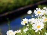 川辺に咲くマーガレット