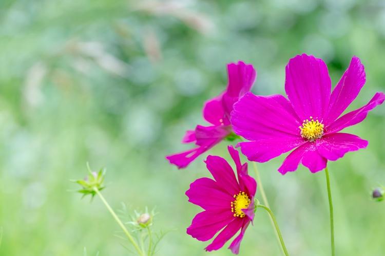 紫の花3輪とつぼみ