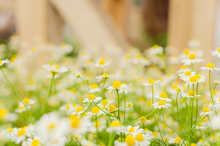 小さい黄色と白の花が多数