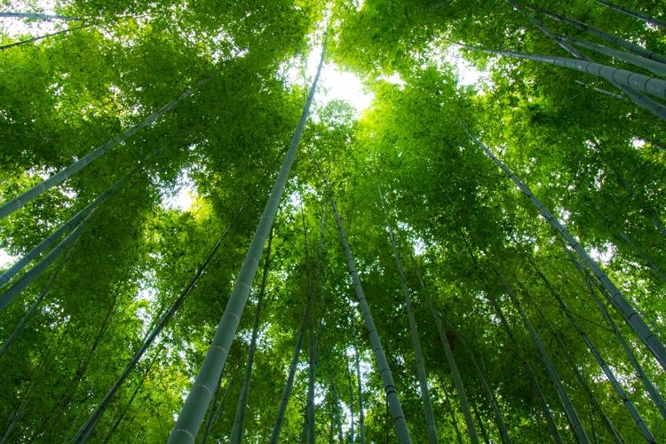 見上げた竹林
