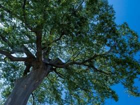 見上げた大きな木