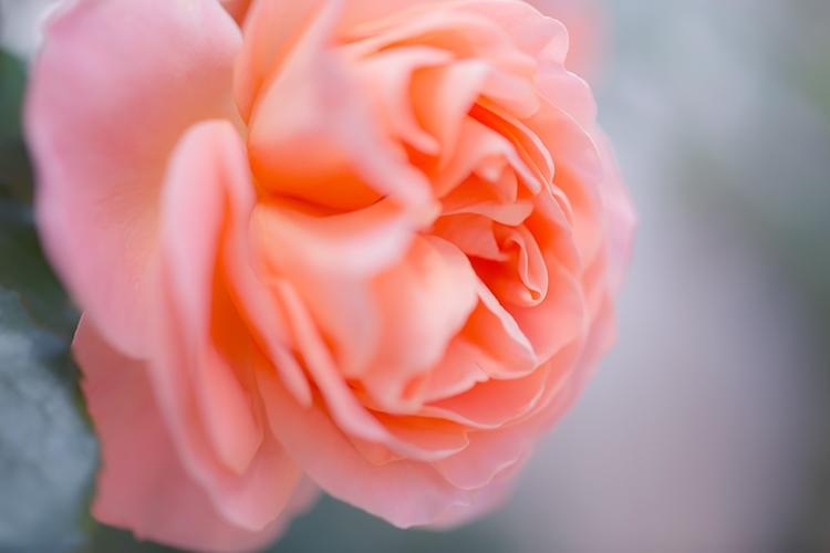 ピンクの花いちりん