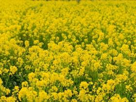 黄色い花が無数に