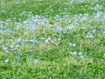 草と小さい青い花