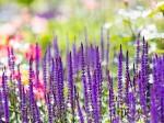 紫の花多数