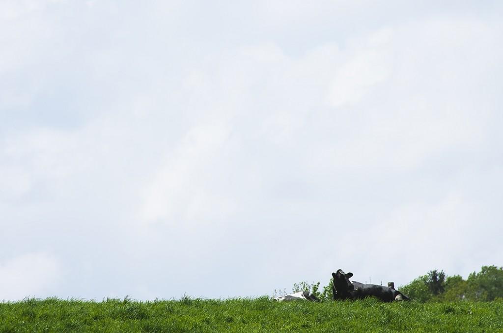 草原と牛の画像