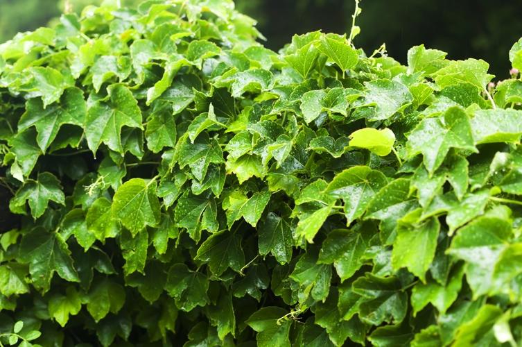 緑の葉っぱがしなだれている
