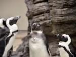 ペンギン達